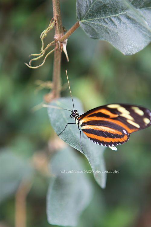 Papillon4